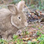 conejo gigante aleman