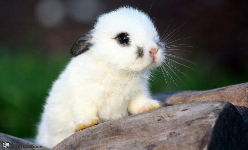 cria de conejo blanco bebé