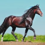 elegante caballo andaluz oscuro