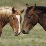 pareja de caballos mustang rubio y moreno