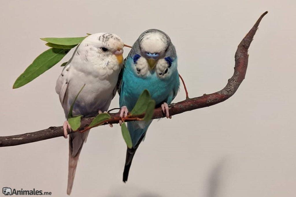 pareja de periquitos enamorados macho y hembra