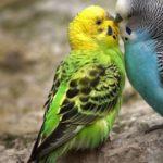 periquito azul besando a un periquito verde y amarillo