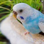 periquito azul y blanco