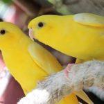 periquitos de color amarillo