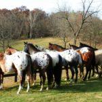 tipos de capa colores caballo appaloosa