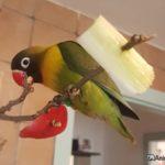 Agaporni comiendo de la comida puesta en las ramas
