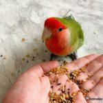 Agaporni comiendo de la mano