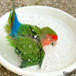 Agaporni dandose un baño