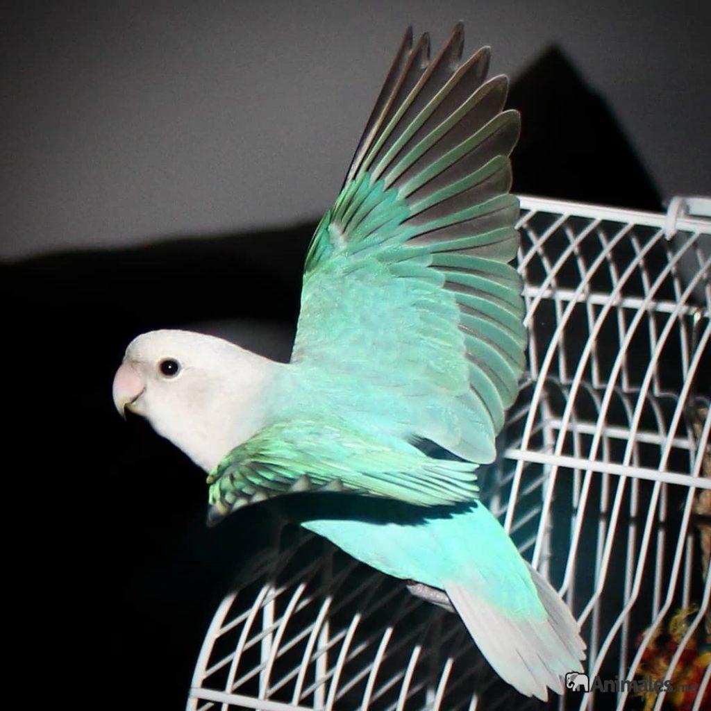 Agaporni volando