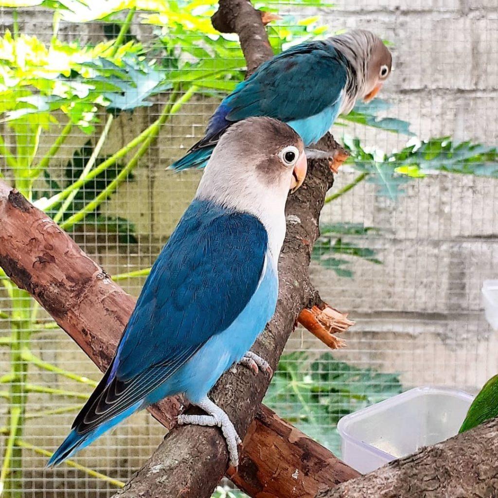 Agapornis azules