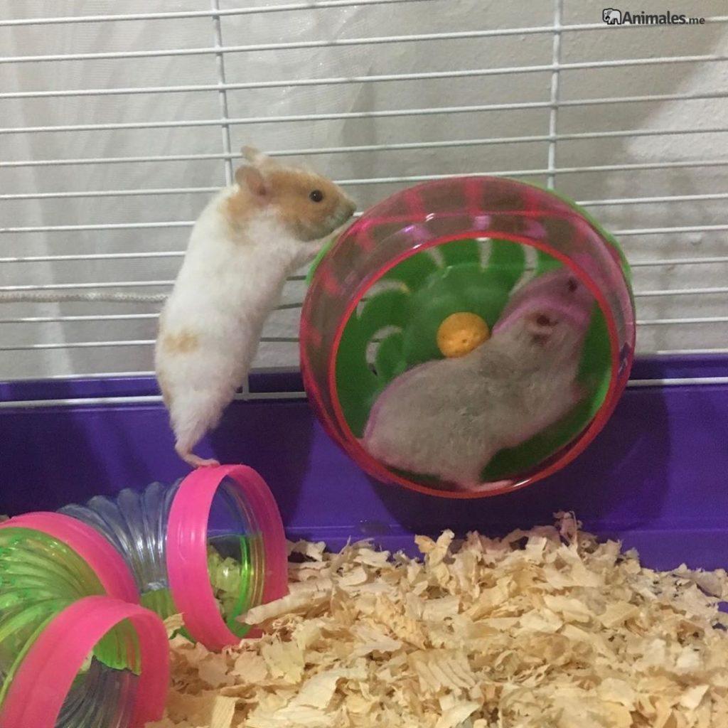 Amigos Hamsters jugando juntos en la rueda
