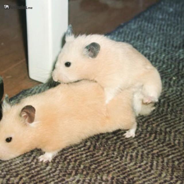 Apareamiento de Hamster sirio o dorado