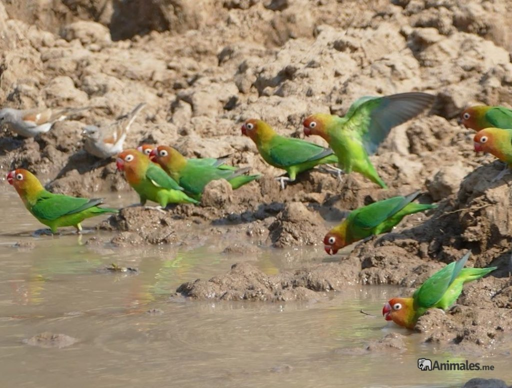 Bandada de Inseparables del Nyasa (Agapornis Lianae) bebiendo en el rio en libertad