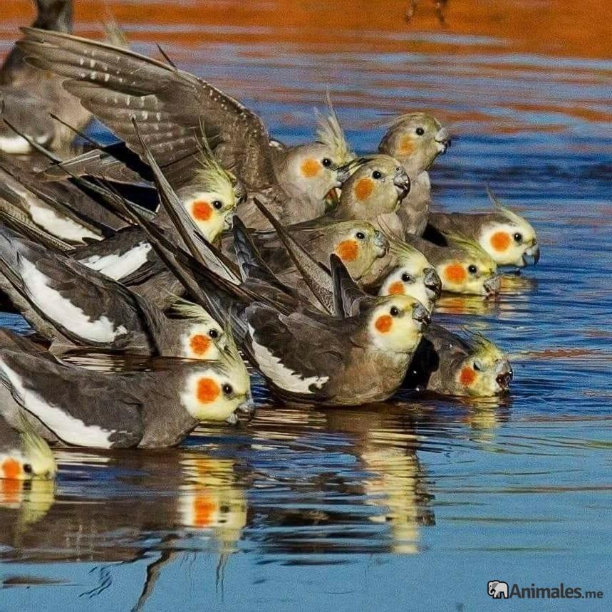 Bandada de ninfas bebiendo en un rio en libertad