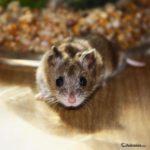 Bonito ejemplar Hamster chino
