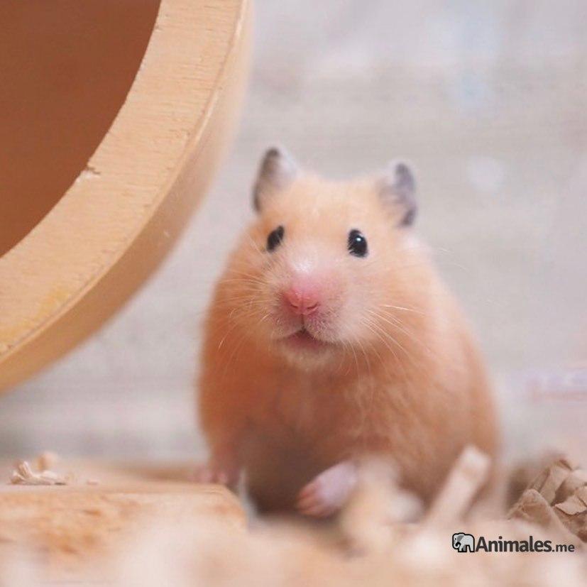 Bonito ejemplar de hamster Sirio