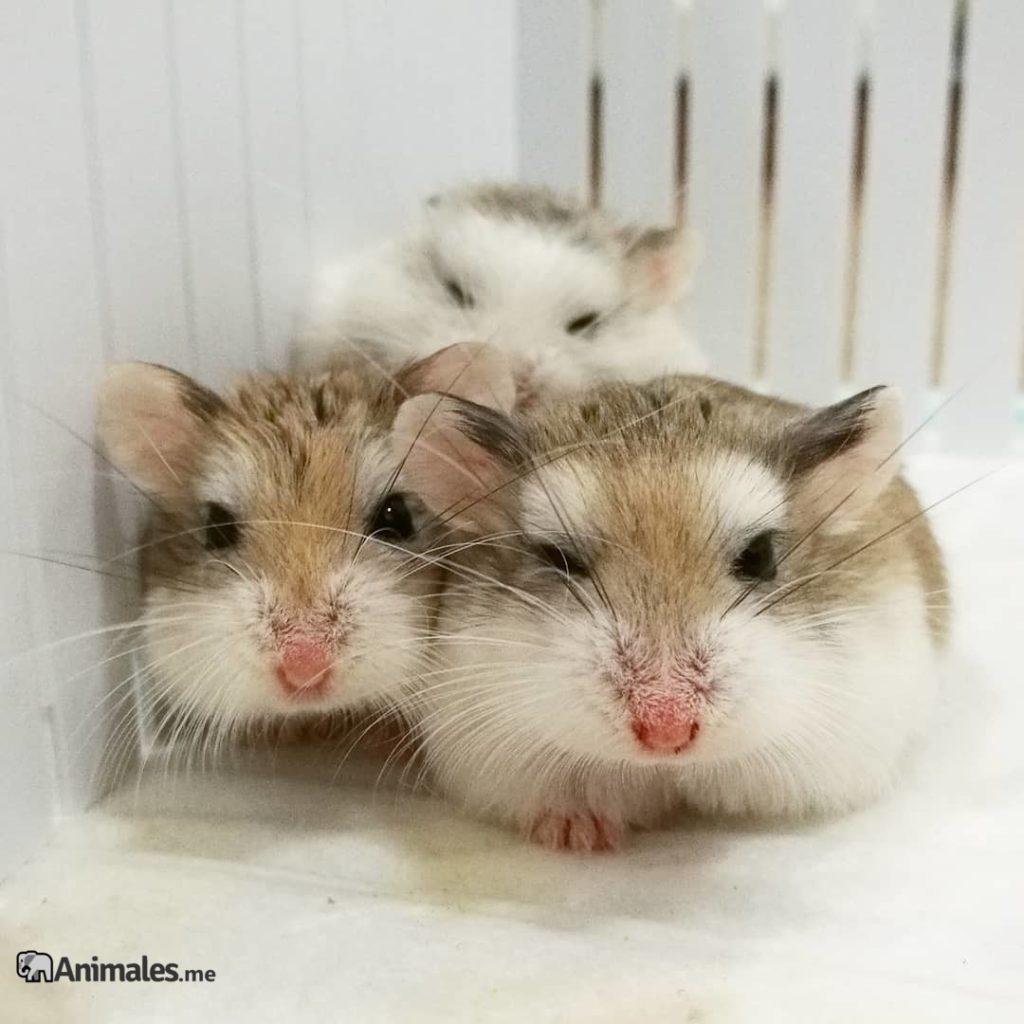 Bonitos ejemplares de hamster roborowski