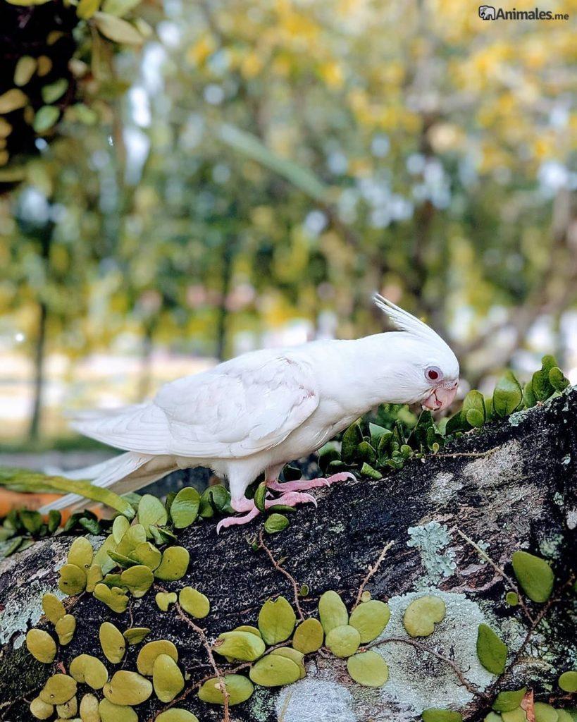 Carolina albina