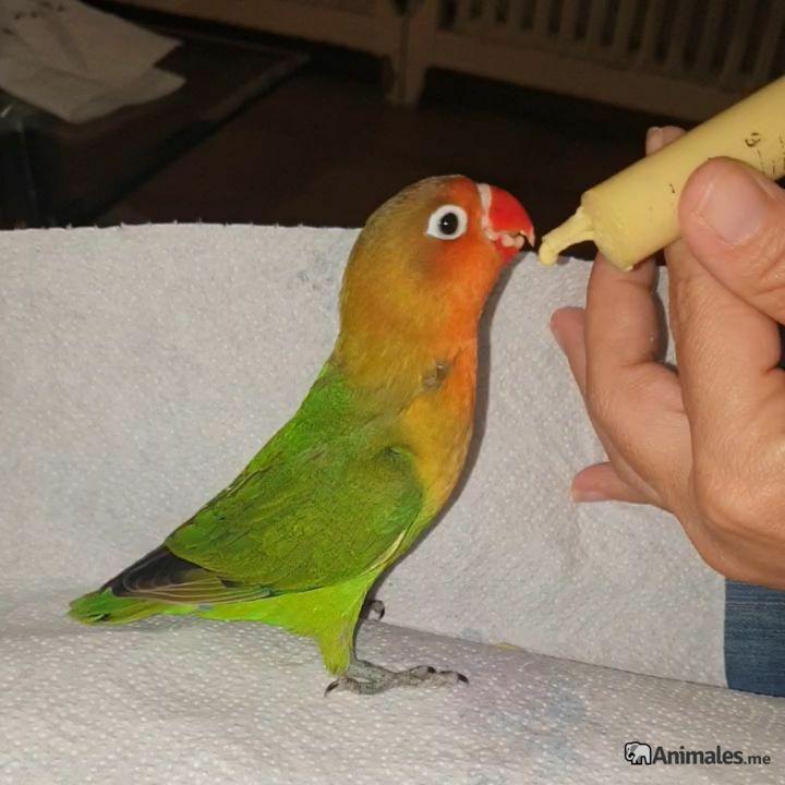Cría de agaporni papillero dandole de comer papilla