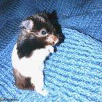 Cría de hamster panda bebe