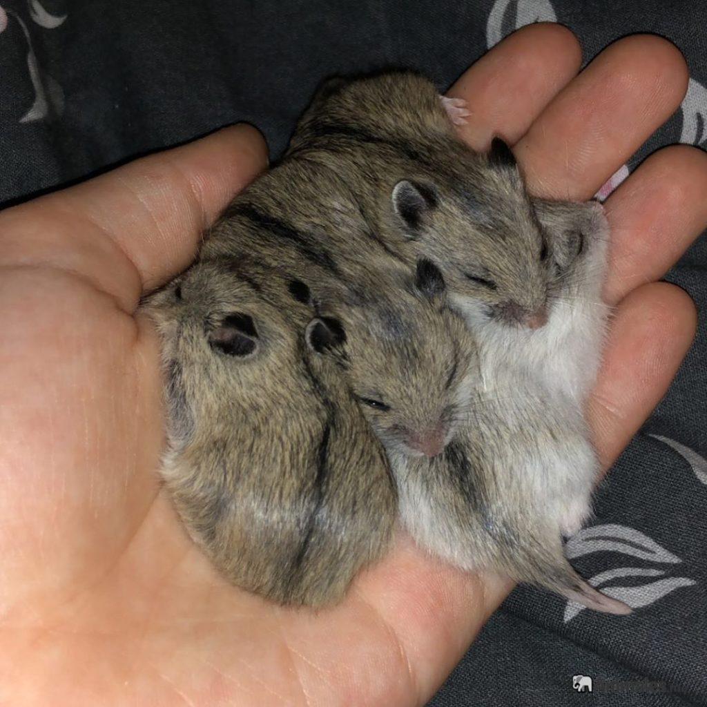 Crías de hamster chino bebes