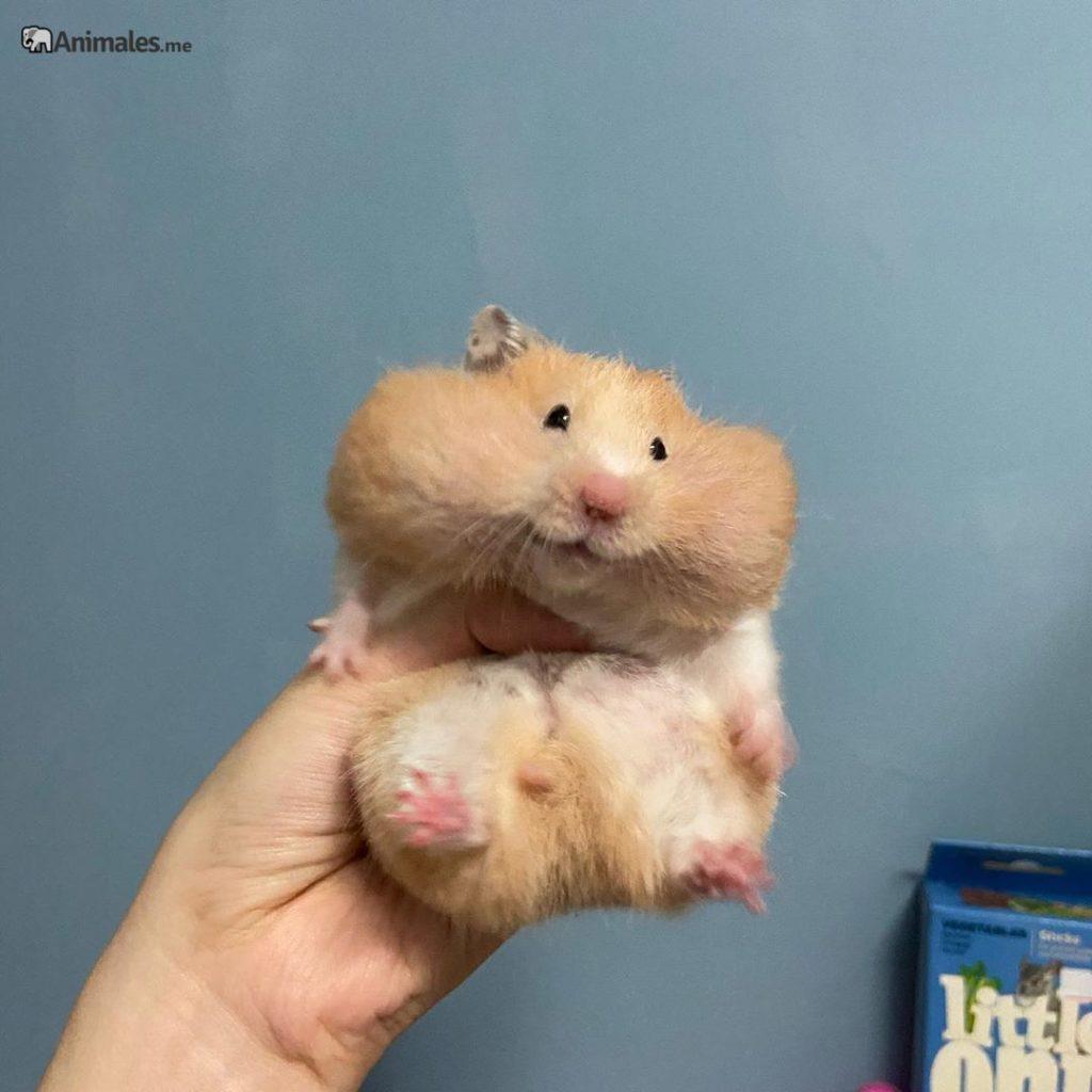 Detalle de los abazones donde guarda la comida el hamster Sirio