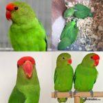 Diferentes vistas Inseparable Abisinio o de frente roja (Agapornis Taranta)