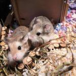 Pareja de Hamsters roborowski