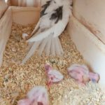 Ejemplo de un nido de ninfa con sus crías por dentro