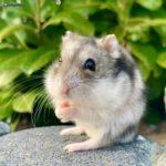 Foto de Hamster de Campbell en el jardin