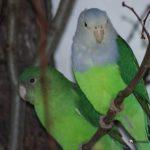 Foto de pareja de Inseparables Malgache (Agapornis Canus)