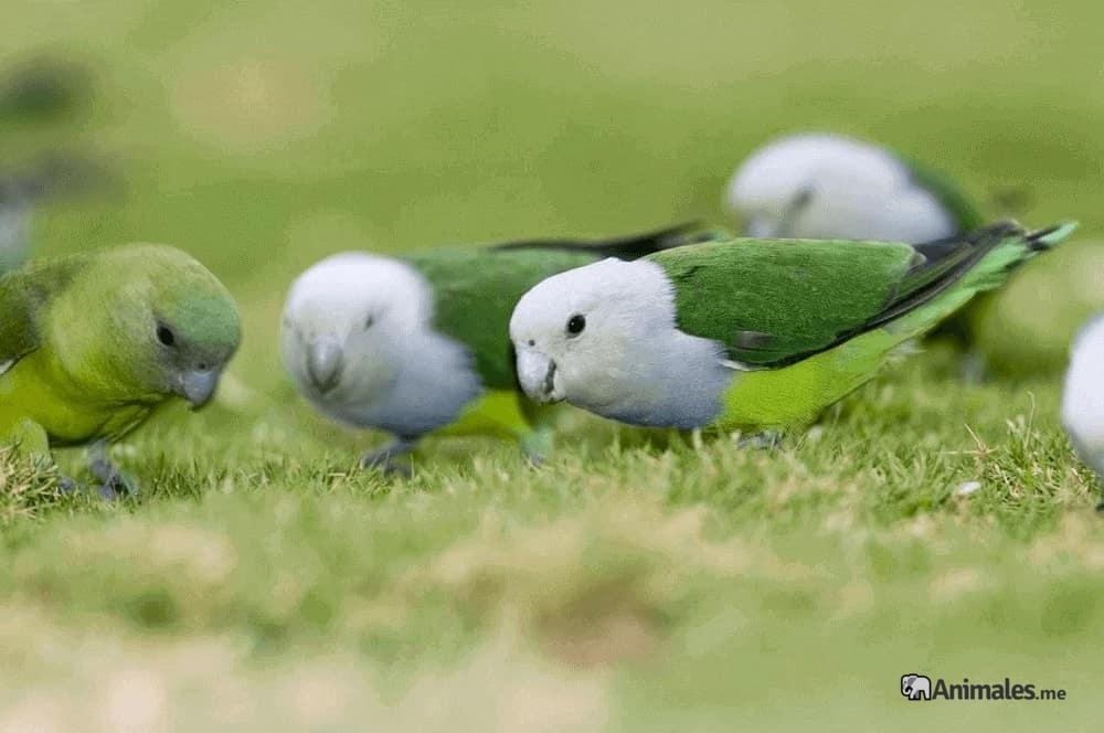 Grupo de Inseparables Malgache (Agapornis Canus) comiendo en libertad
