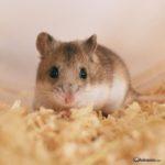 Hamster Chino (Cricetulus barabensis)