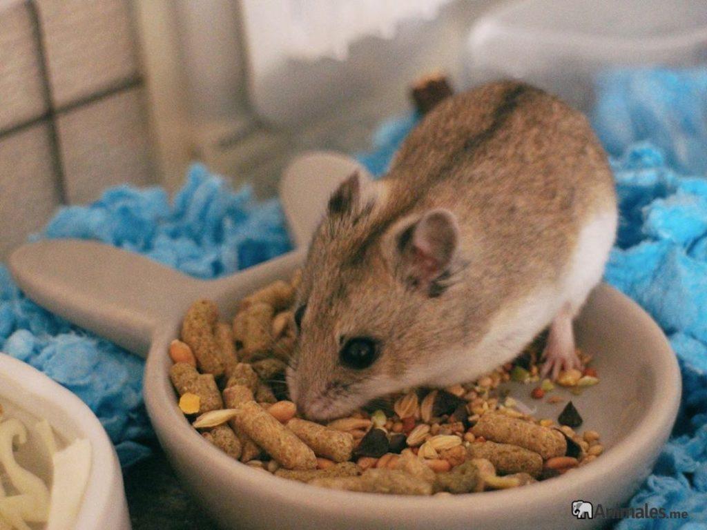 Hamster Chino comiendo