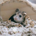 Hamster Chino en la entrada de su madriguera
