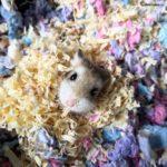 Hamster Roborovski escondido entra las virutas