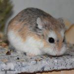Hamster Rovorowski