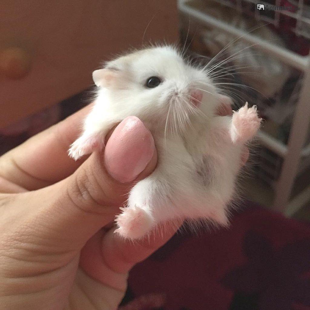 Hamster bebe blanco