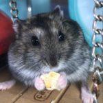 Hamster chino comiendo galleta