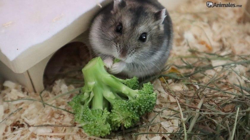 Hamster comiendo brocoli, su verdura favorita
