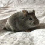 Hamster de Campbell (Phodopus campbelli)