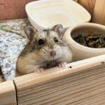 Hamster de Campbell asomandose en su jaula