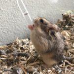 Hamster de Campbell bebiendo agua