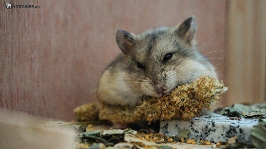 Hamster de Campbell comiendo su espiga de semillas favorita