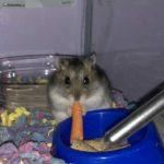 Hamster de Campbell comiendo una zanahoria