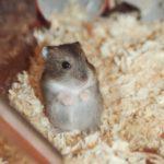 Hamster de Campbell de pie a dos patas