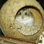 Hamster de Campbell dentro de su madriguera