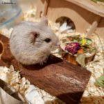 Hamster de Campbell en su jaula