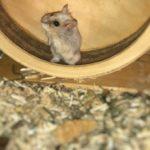 Hamster de Campbell en su rueda