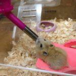 Hamster dorado bebiendo